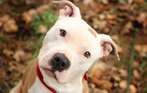 Everything Wrong with the Pit Bull Ban